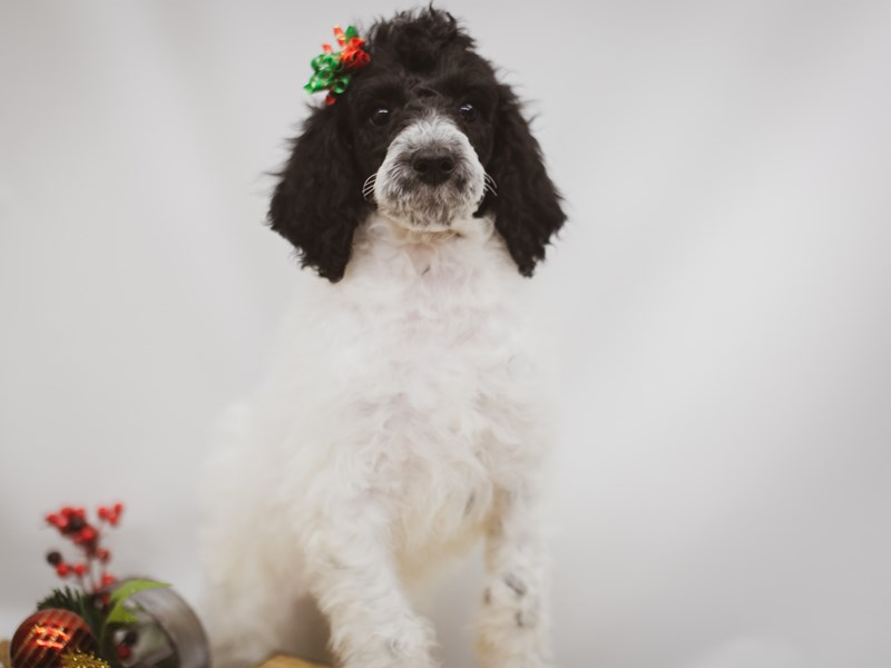 Standard Poodle-Female-White & Black Parti-2564078-Petland Wichita, KS