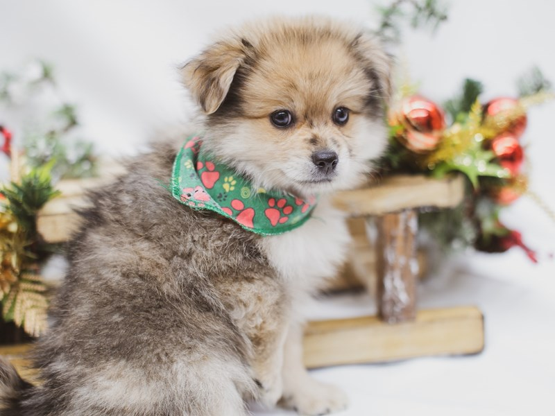 Pomeranian-Female-Sable-2563344-Petland Wichita, KS