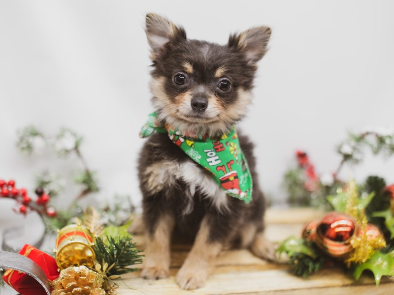 Chipom-Male-Blue Tri-2563302-Petland Wichita, KS