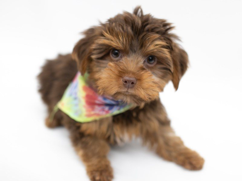 Yorkshire Terrier-Male-Chocolate & Tan-2571703-Petland Wichita, KS