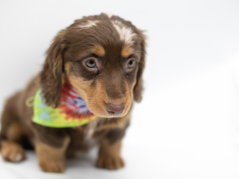 Miniature Dachshund-Male-Long Hair Chocolate Dapple-2571690-Petland Wichita, KS