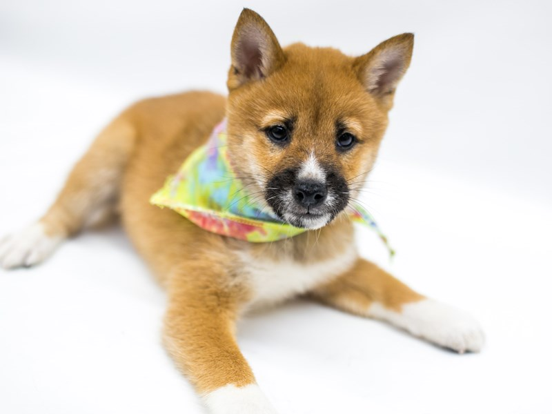 Shiba Inu-Male-Red Sesame-2574827-Petland Wichita, KS