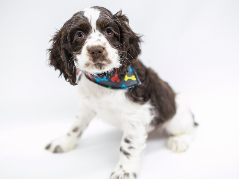 Cocker Spaniel-DOG-Male-Chocolate & White-2575744-Petland Wichita, KS