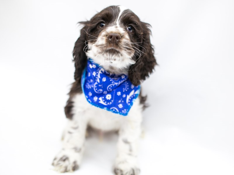 Cocker Spaniel-Male-Chocolate & White-2575747-Petland Wichita, KS