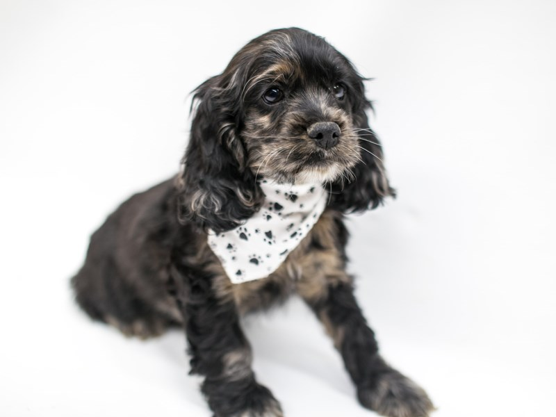 Cocker Spaniel-Male-Blue Merle-2575749-Petland Wichita, KS