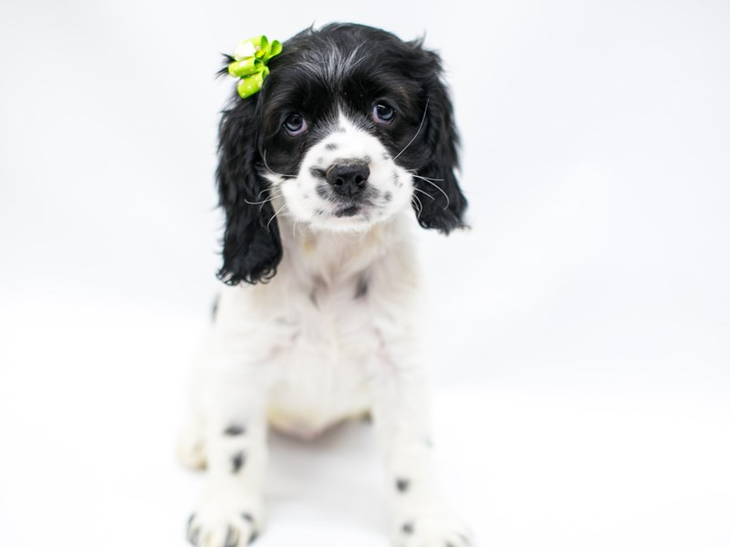 Cocker Spaniel-Female-Black & White-2575752-Petland Wichita, KS
