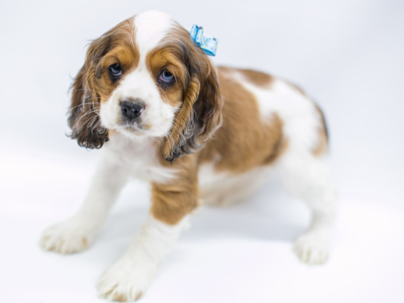 Cocker Spaniel-Female-Red & White-2575757-Petland Wichita, KS