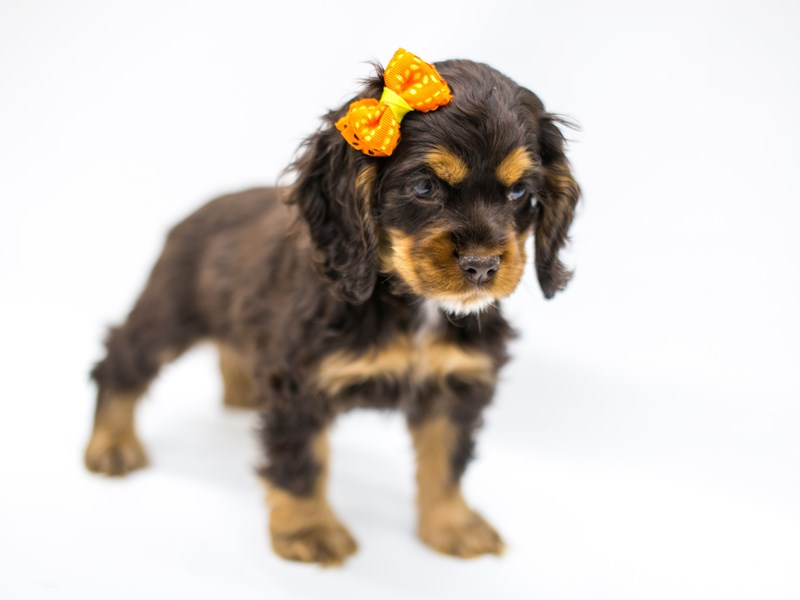 Cocker Spaniel-Female-Chocolate &Tan-2575760-Petland Wichita, KS
