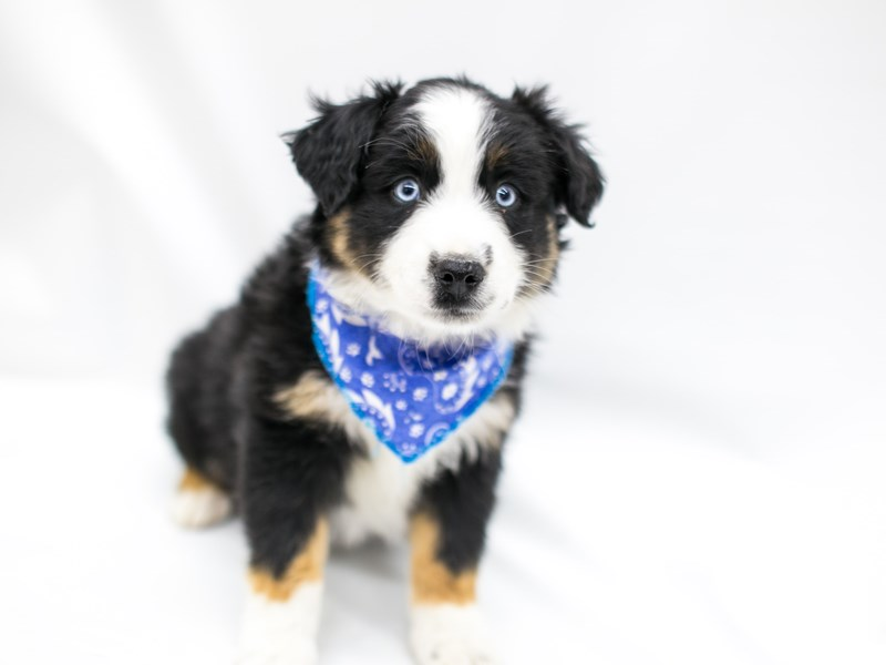 Miniature Australian Shepherd-Male-Black Tri-2575763-Petland Wichita, KS
