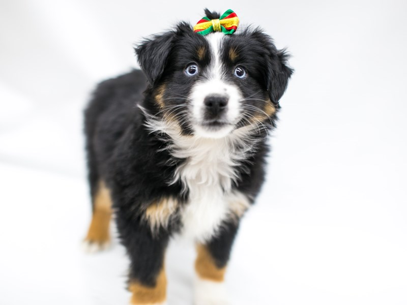 Miniature Australian Shepherd-Female-Black Tri-2575781-Petland Wichita, KS
