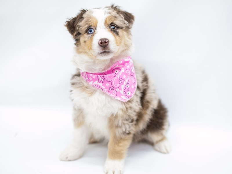 Miniature Australian Shepherd-Female-Red Merle-2575782-Petland Wichita, KS