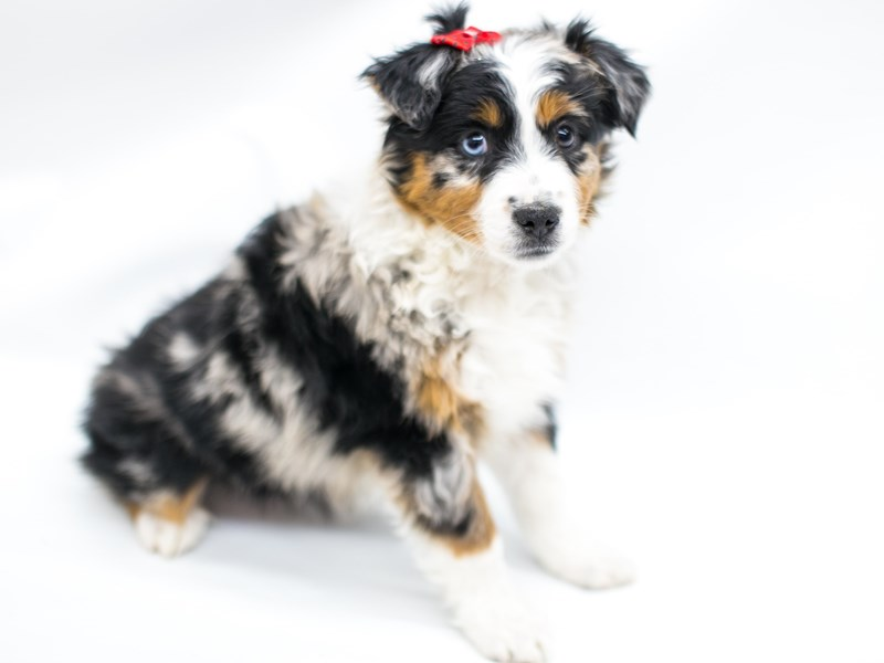 Miniature Australian Shepherd-Female-Blue Merle-2575784-Petland Wichita, KS