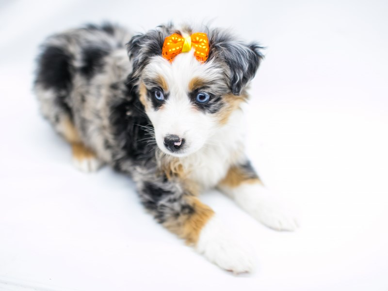Miniature Australian Shepherd-Female-Blue Merle-2575785-Petland Wichita, KS