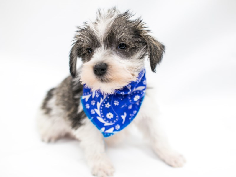 Miniature Schnauzer-DOG-Male-Salt & Pepper Parti-2575862-Petland Wichita, KS