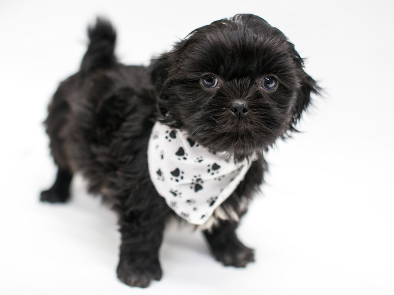 Shih Tzu-DOG-Male-Black-2575896-Petland Wichita, KS