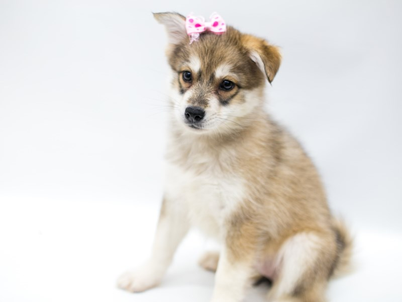 Pomsky-DOG-Female-Grey & White-2583150-Petland Wichita, KS