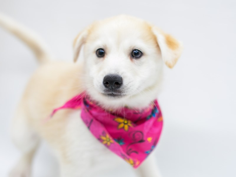 Pomsky-Female-Red & White-2583149-Petland Wichita, KS