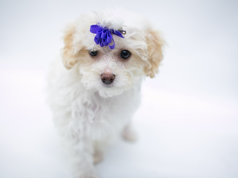 Malti Poo-DOG-Female-White & Cream-2582730-Petland Wichita, KS