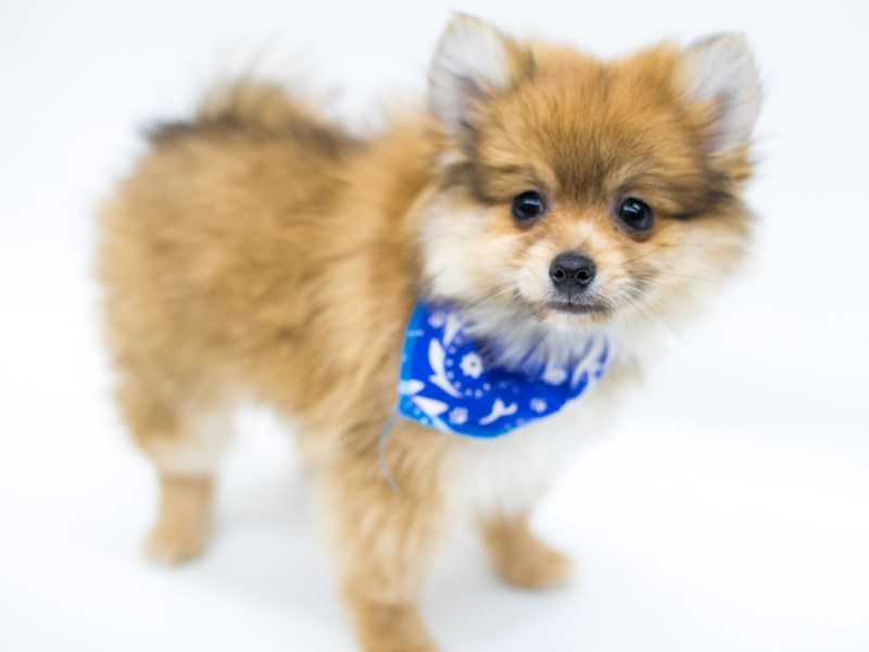Pomeranian-DOG-Male-Red-2582714-Petland Wichita, KS