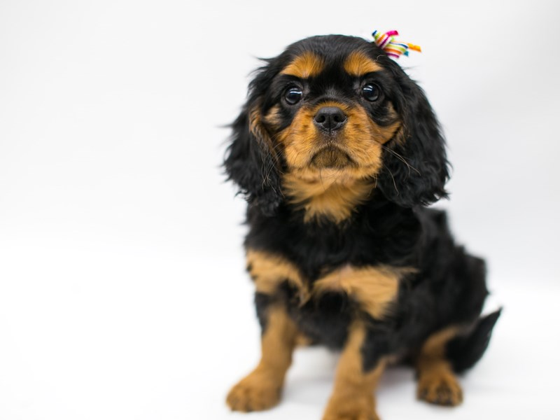 Cavalier King Charles Spaniel-Female-Black & Tan-2580855-Petland Wichita, KS