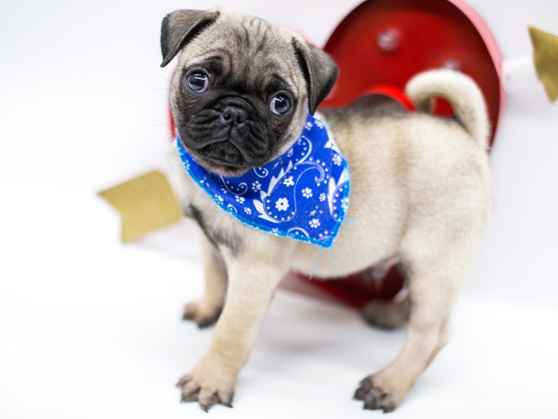 Pug-Male-Fawn w Black Mask-2590750-Petland Wichita, KS