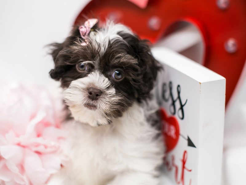 Shih Poo-Female-Chocolate & White-2590747-Petland Wichita, KS