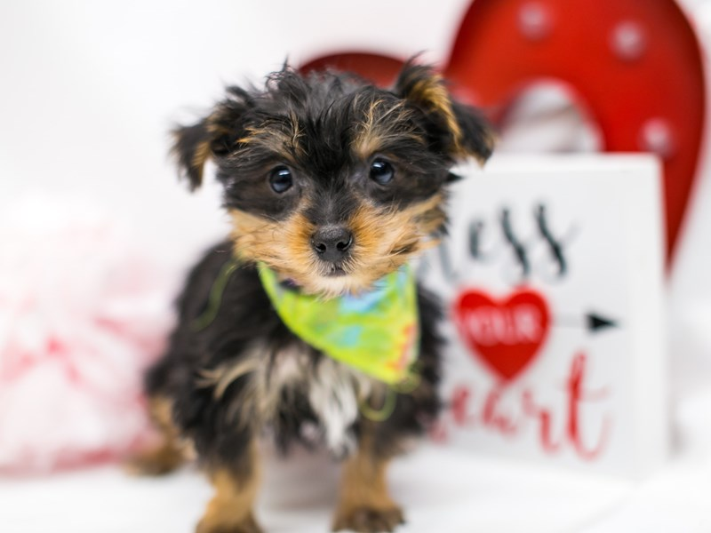 Yorkshire Terrier-Male-Black & Gold-2590738-Petland Wichita, KS