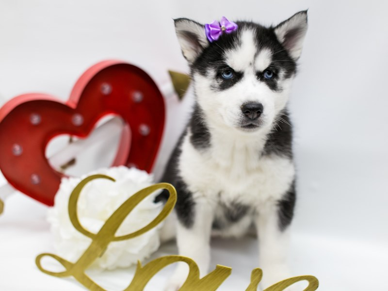 Siberian Husky-Female-Black & White-2590726-Petland Wichita, KS