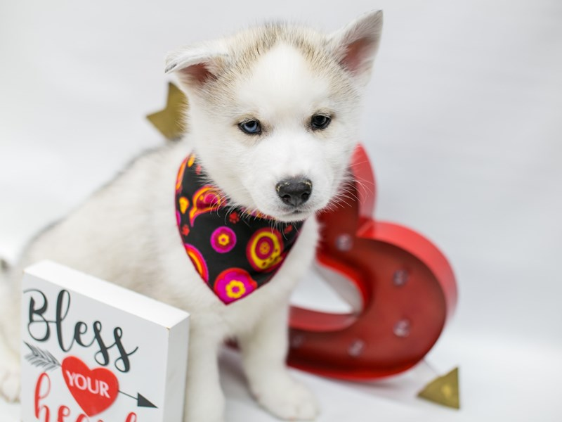Siberian Husky-Male-Silver & White-2590723-Petland Wichita, KS