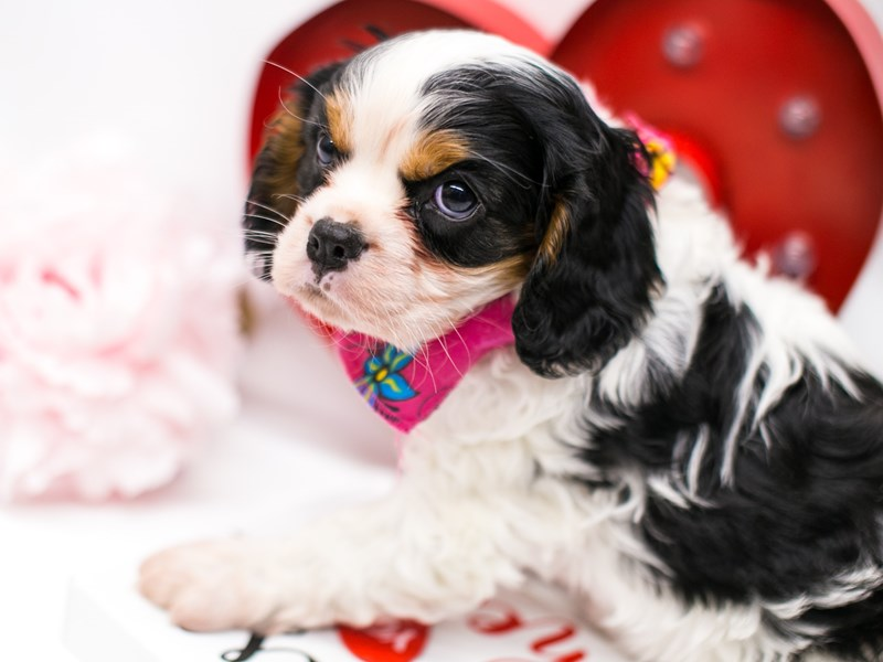 Cavalier King Charles Spaniel-DOG-Female-Tri-2590682-Petland Wichita, KS