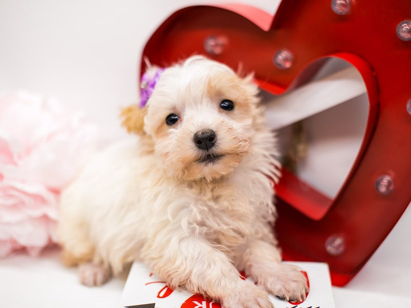 Morkie Poo-Female-White &n Cream-2590651-Petland Wichita, KS