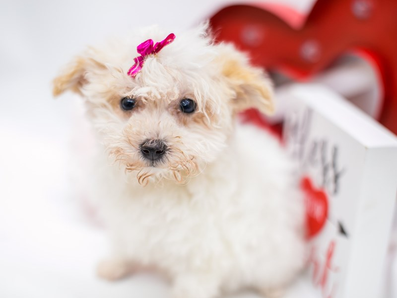 Morkie Poo-Female-White & Cream-2590648-Petland Wichita, KS