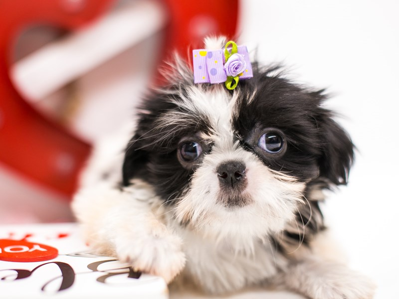 Shih Tzu-Female-Black & White-2590645-Petland Wichita, KS