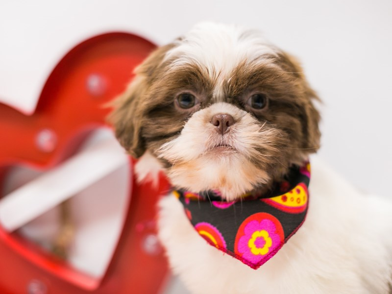 Shih Tzu-Male-Choc & White-2590640-Petland Wichita, KS