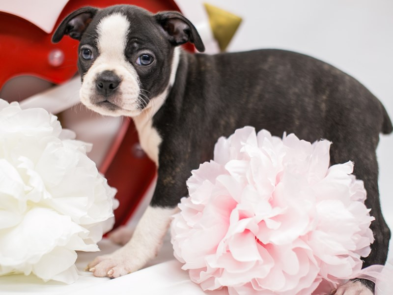 Boston Terrier-Female-Brindle-2590635-Petland Wichita, KS