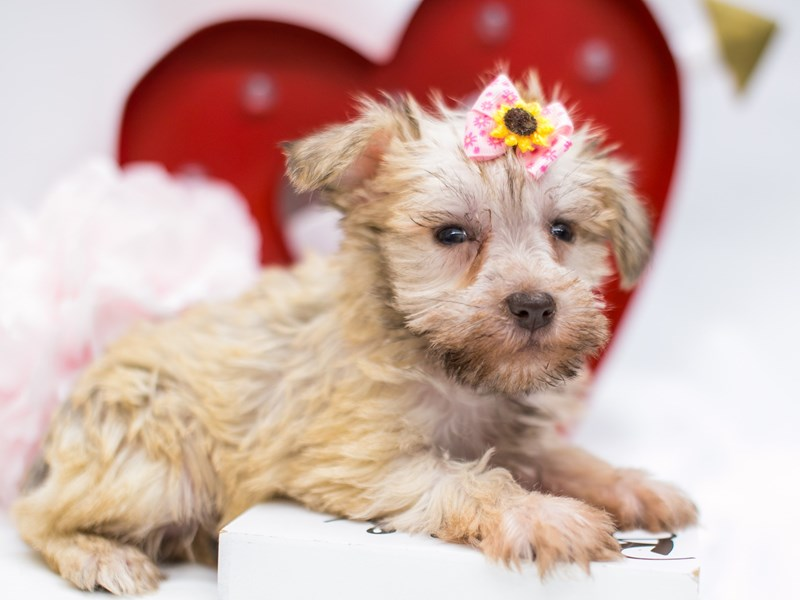 Miniature Schnauzer-Female-White Chocolate-2590615-Petland Wichita, KS
