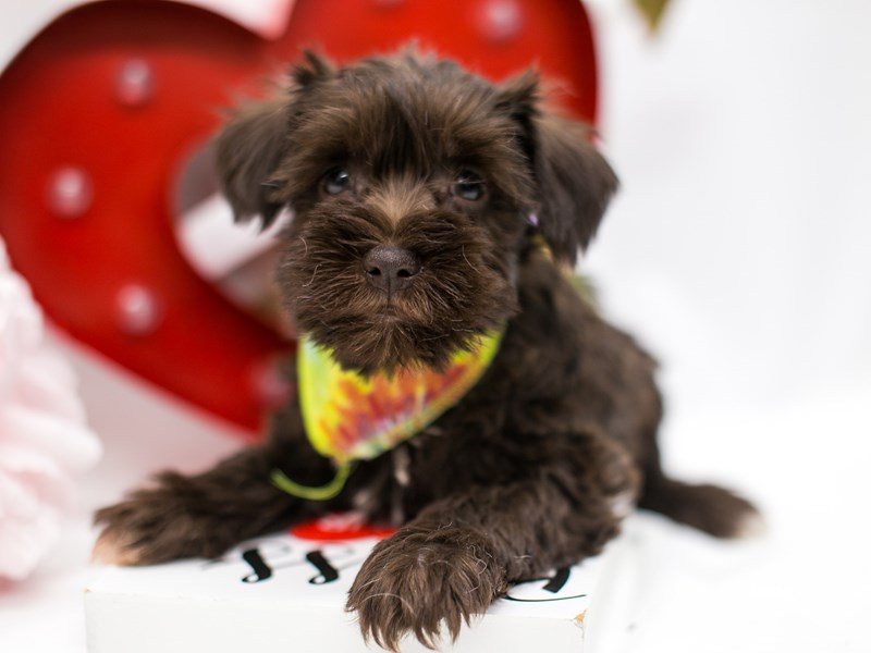 Miniature Schnauzer-Male-Chocolate-2590609-Petland Wichita, KS
