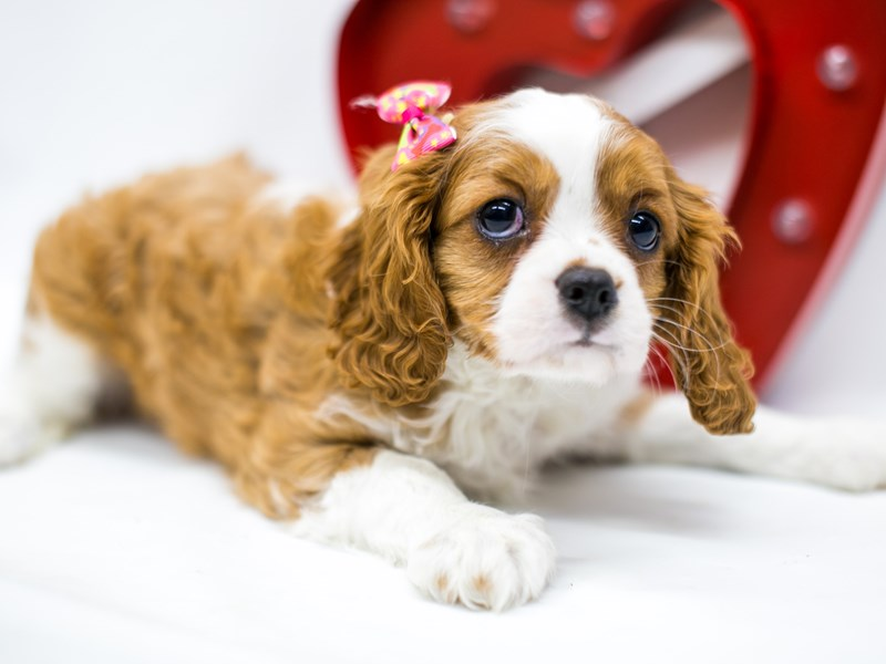 Cavalier King Charles Spaniel-Female-Blenheim-2590598-Petland Wichita, KS