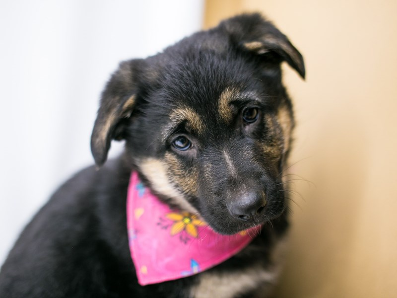 German Shepherd-DOG-Female-Black & Tan-2590029-Petland Wichita, KS