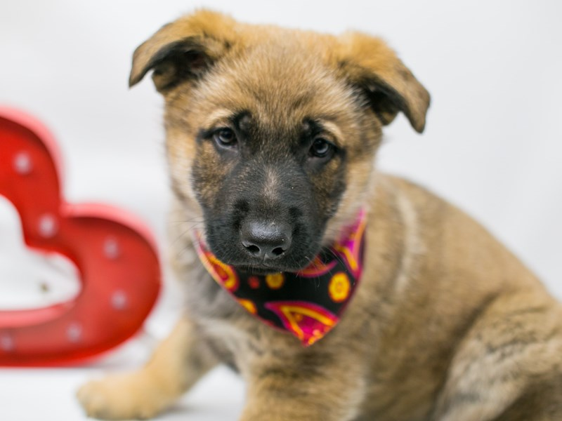 German Shepherd-Male-Sable-2590017-Petland Wichita, KS