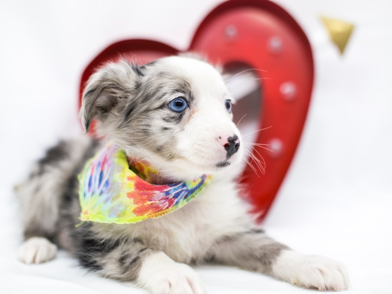 Miniature Australian Shepherd-Male-Blue Merle-2598370-Petland Wichita, KS
