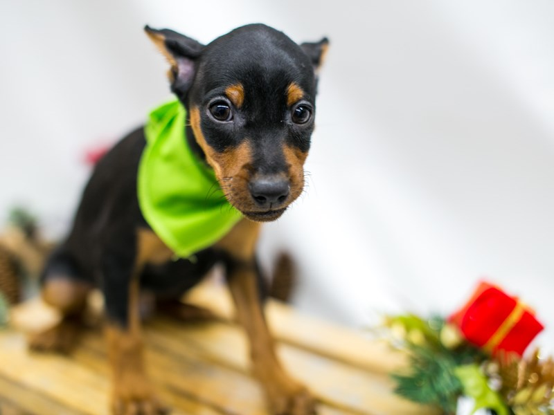 Min Pin-DOG-Male-Black and Rust-2545595-Petland Wichita, KS