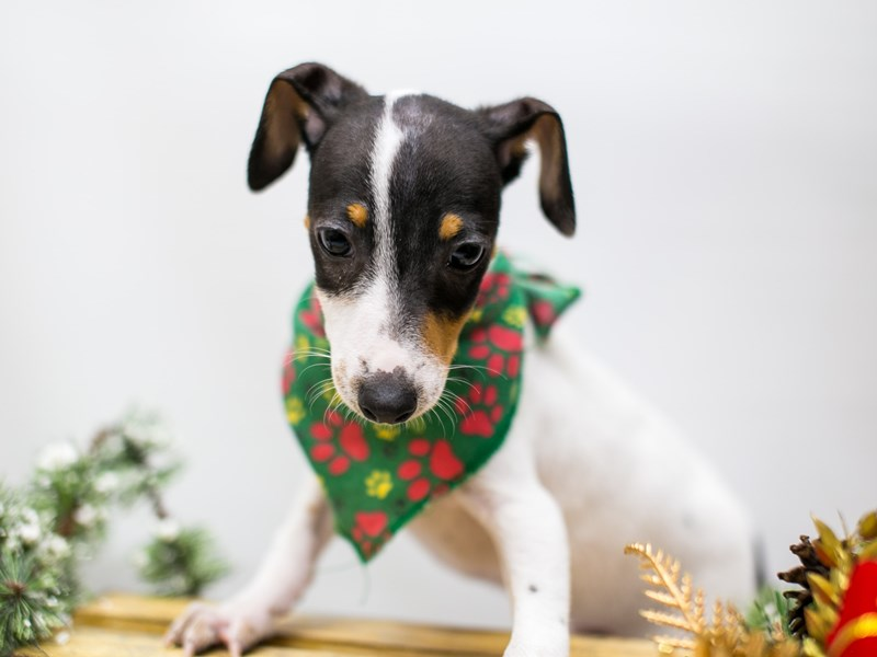 Jack Russell Terrier-DOG-Male-White Black and Tan-2518080-Petland Wichita, KS