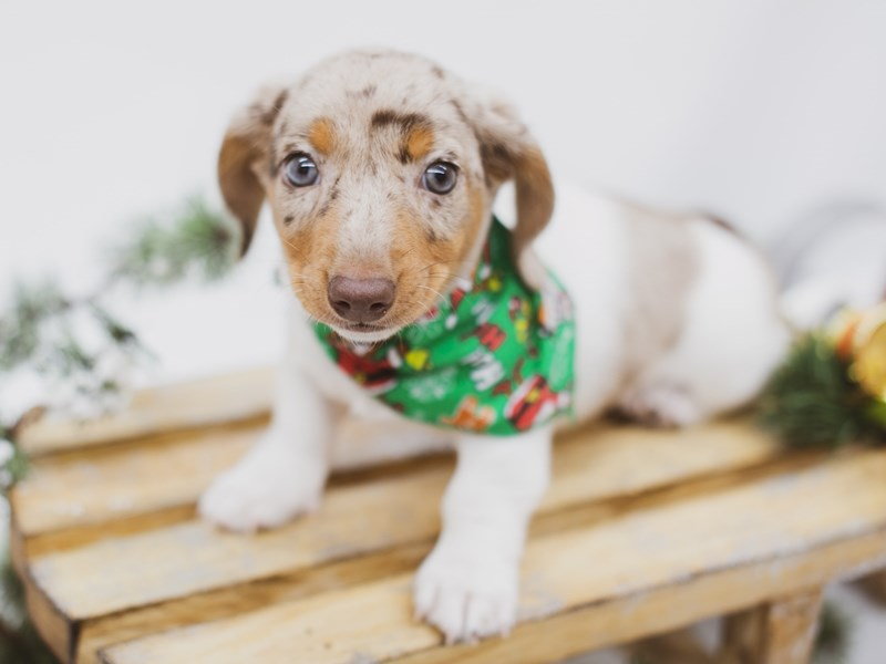 Miniature Dachshund-Male-Red Dapple Pibald-2556277-Petland Wichita, KS