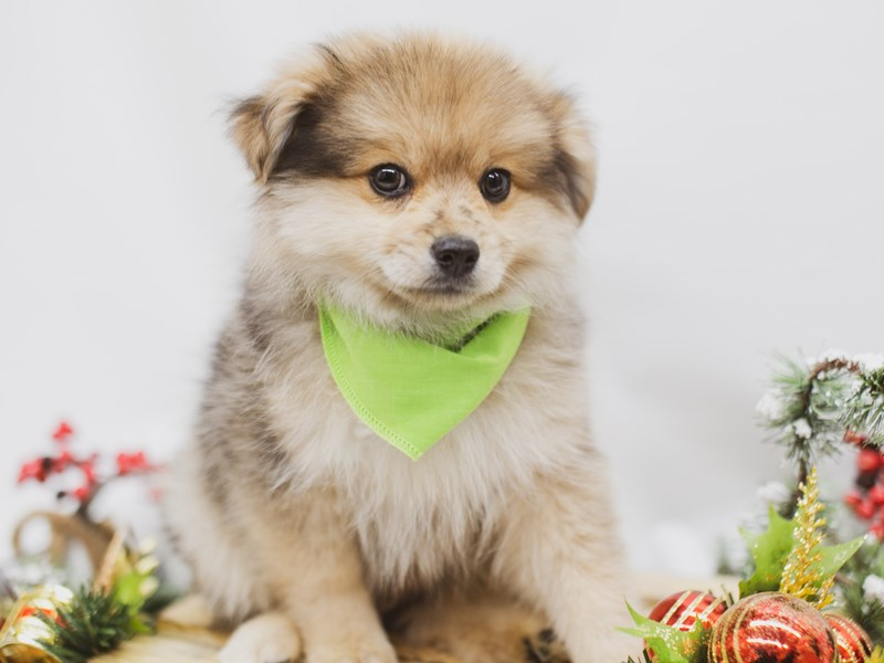 Pomeranian-DOG-Male-Sable-2563341-Petland Wichita, KS