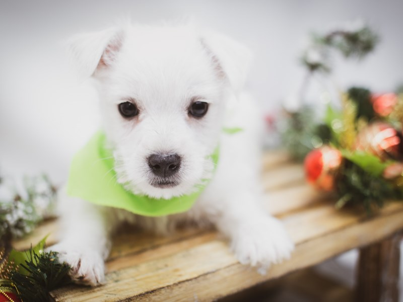 West Highland White Terrier-Male-White-2563256-Petland Wichita, KS