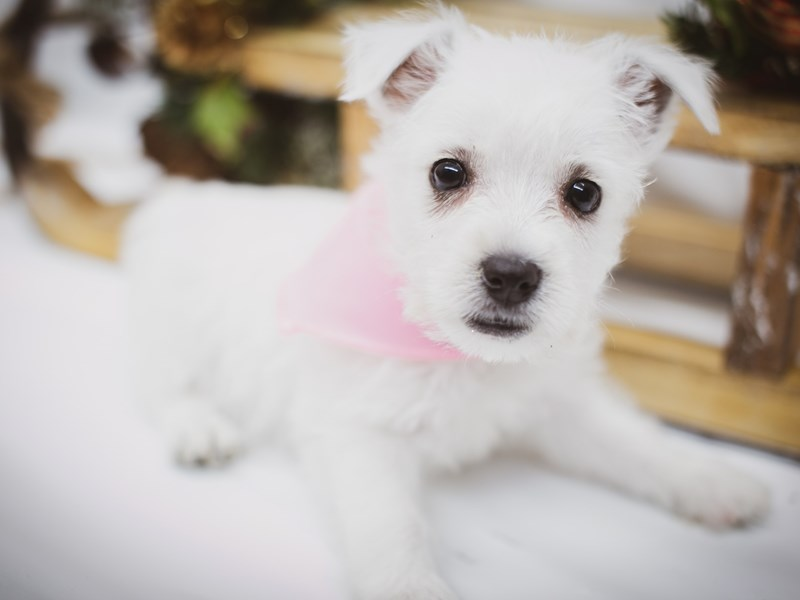 West Highland White Terrier-Female-White-2563270-Petland Wichita, KS