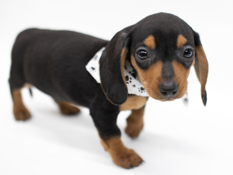 Miniature Dachshund-Male-Black & Tan smooth coat-2571691-Petland Wichita, KS
