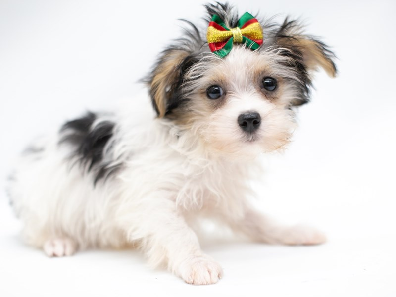 Morkie-Female-Black Tri Parti-2571686-Petland Wichita, KS