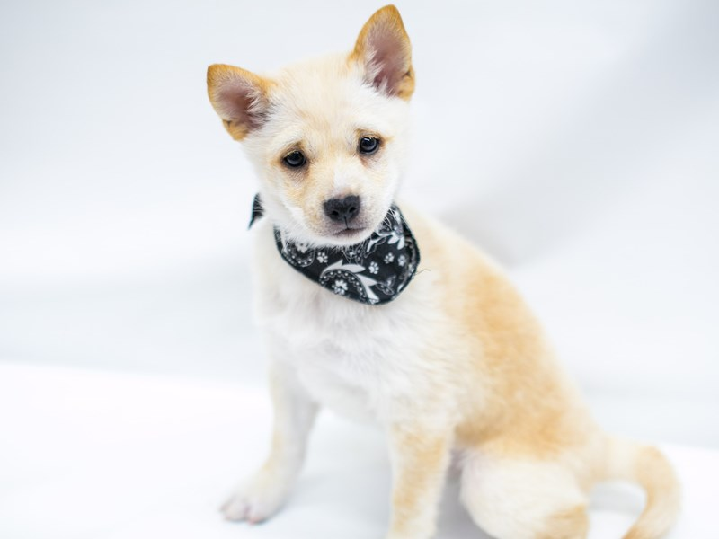 Shiba Inu-Male-Cream-2571734-Petland Wichita, KS